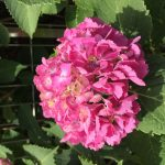 梅雨の時期だからこそ紫陽花の美しさを楽しみましょう