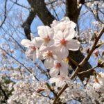 桜を眺めると頭の中に浮かぶ2つの曲への想い